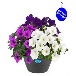 HP1 Petunia mixpot